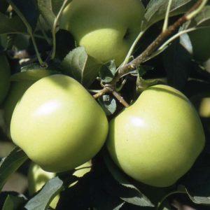 manzano golden cg 10 provedo