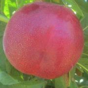nectarina ca fresh 834 provedo
