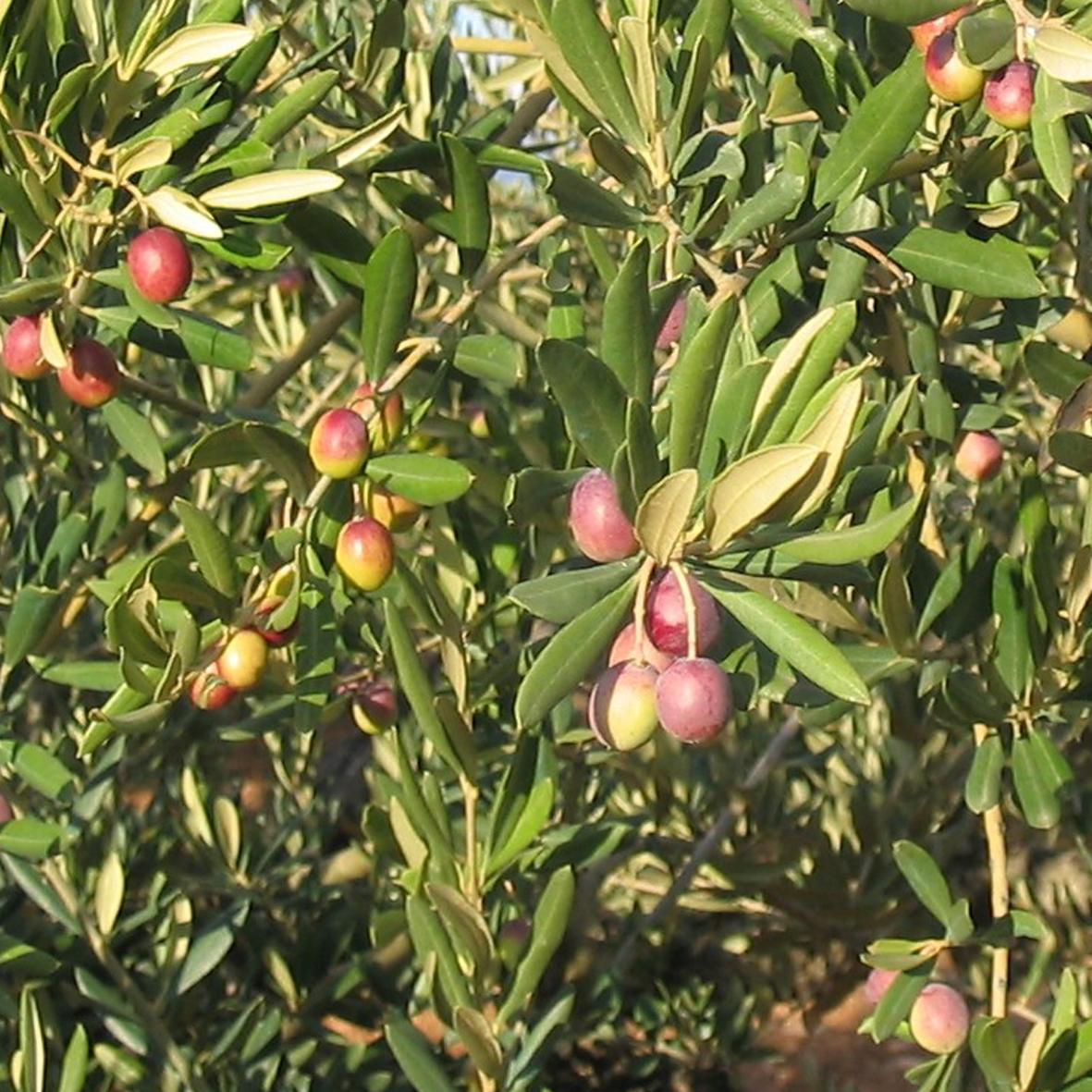 olivo arroniz royuela provedo