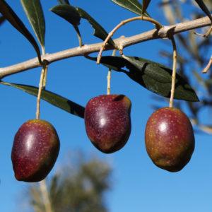 olivo cornezuelo provedo