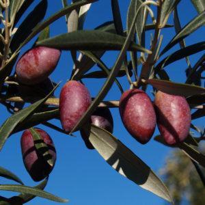 olivo cornicabra provedo