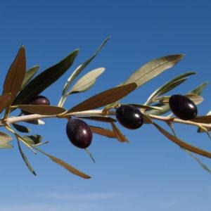 olivo empeltre provedo