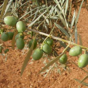 olivo- hojiblanca provedo