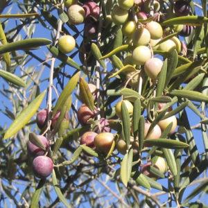olivo manzanilla cacereña provedo