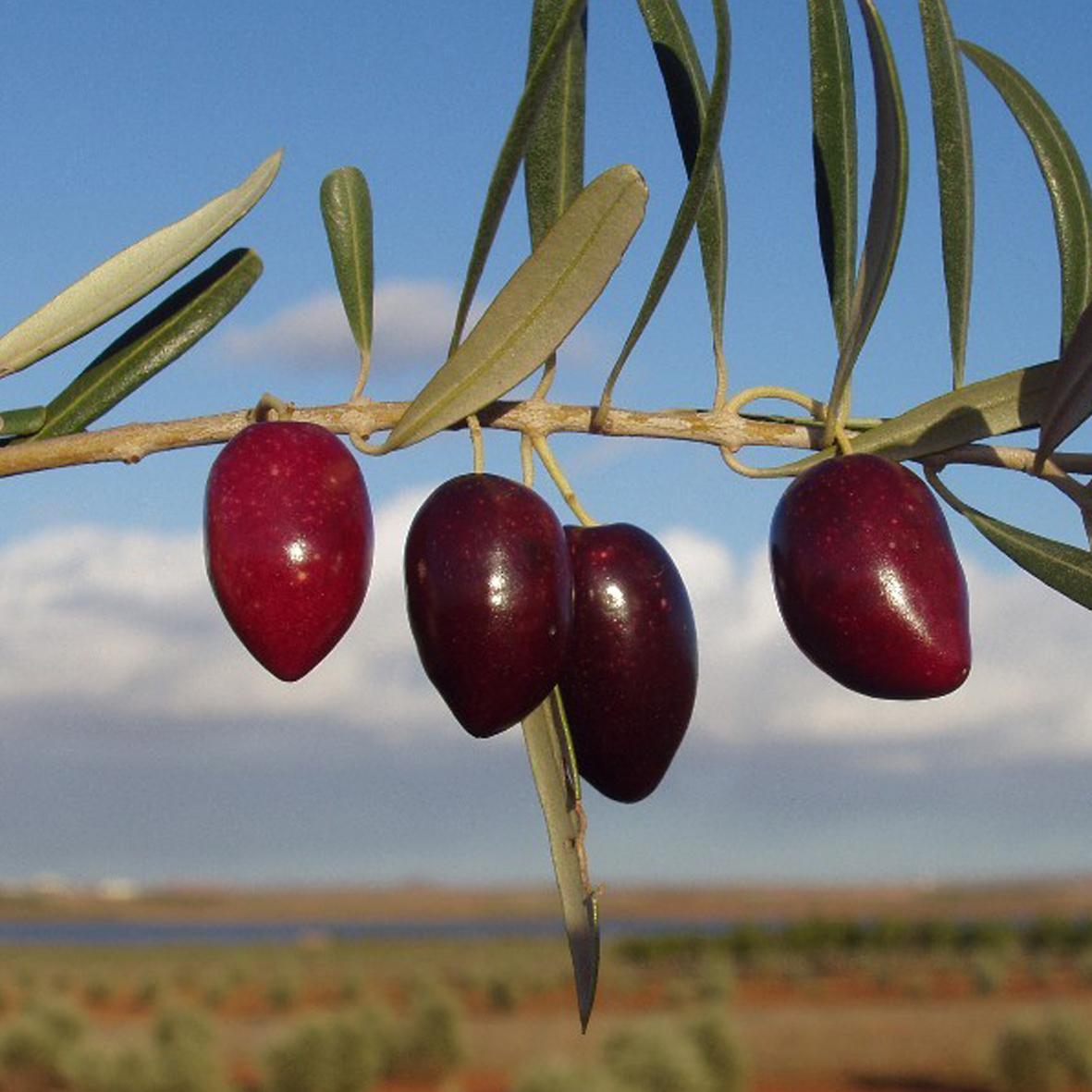 Olives Picual Viveros Provedo