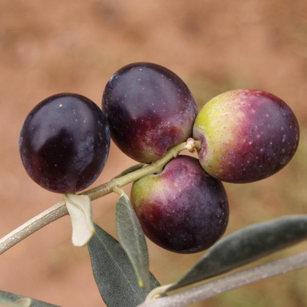 olivo redondilla logroño provedo