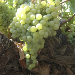 uva vino airen provedo