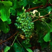 uva vino alarije malvasia rioja provedo