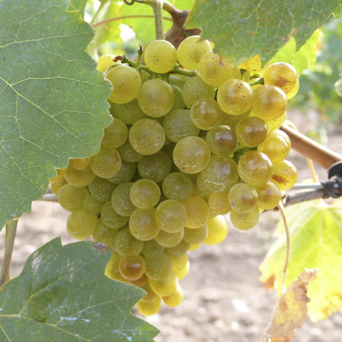 uva vino albarin blanco provedo