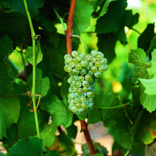 uva vino albarino provedo