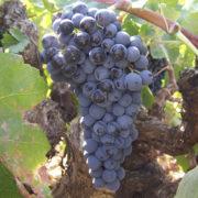 uva vino bobal provedo