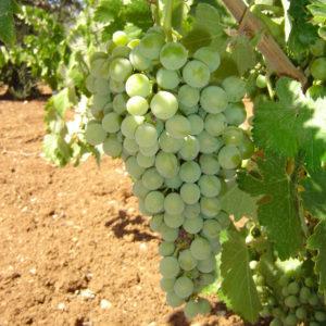 uva vino cayetana provedo