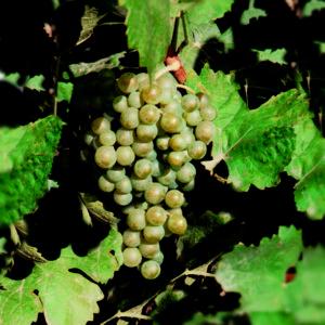 uva vino chardonnay provedo