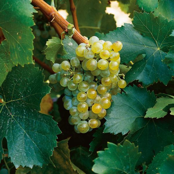 uva vino garnacha blanca provedo