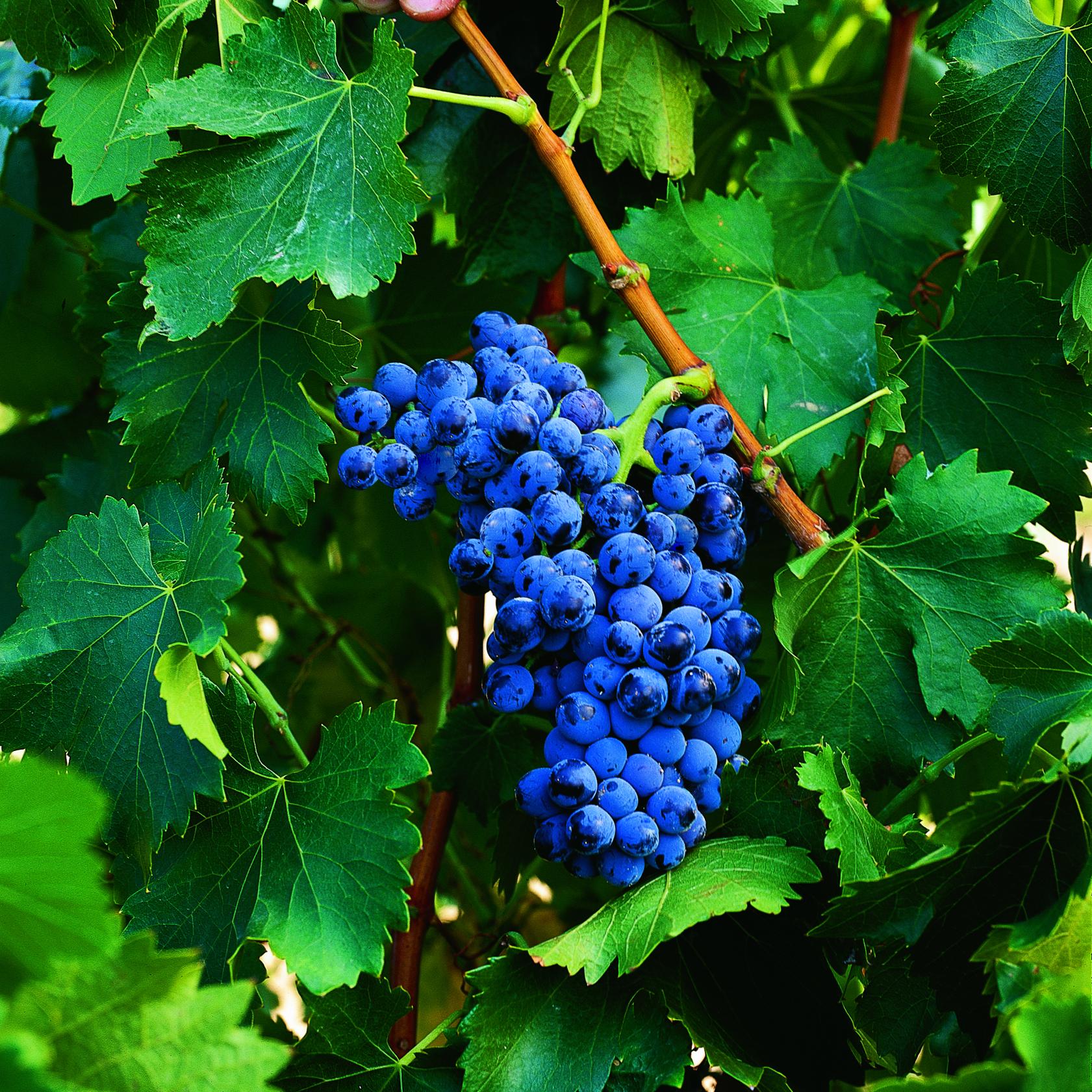 uva vino garnacha provedo