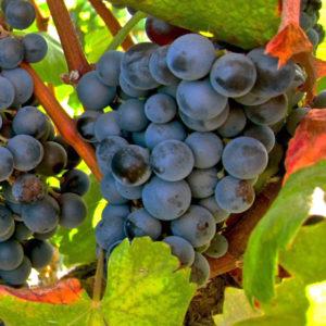 uva vino garnacha tintorera provedo