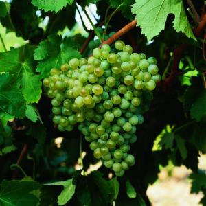 uva vino godello provedo