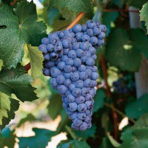 uva vino graciano provedo