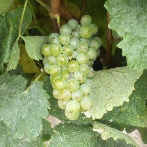 uva vino maturana blanca provedo