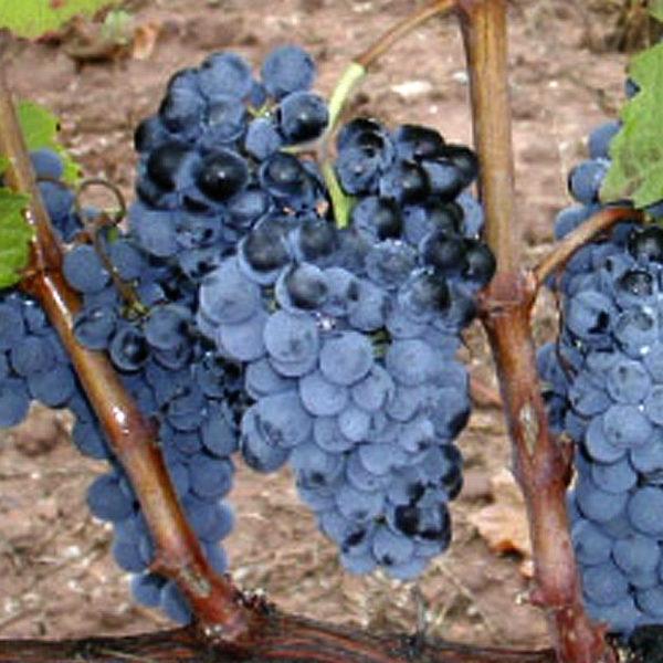 uva vino maturana tinta navarrete provedo