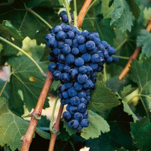 uva vino mazuelo provedo