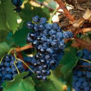 uva vino mencia provedo