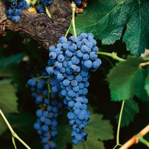 uva vino merlot provedo
