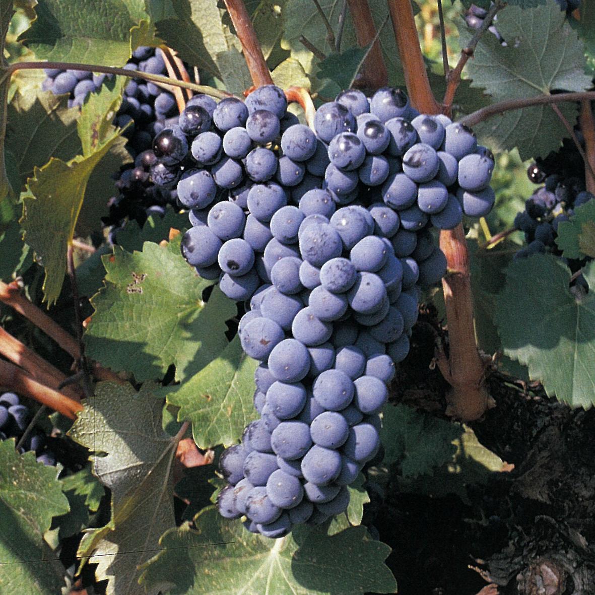 uva vino monastrell provedo
