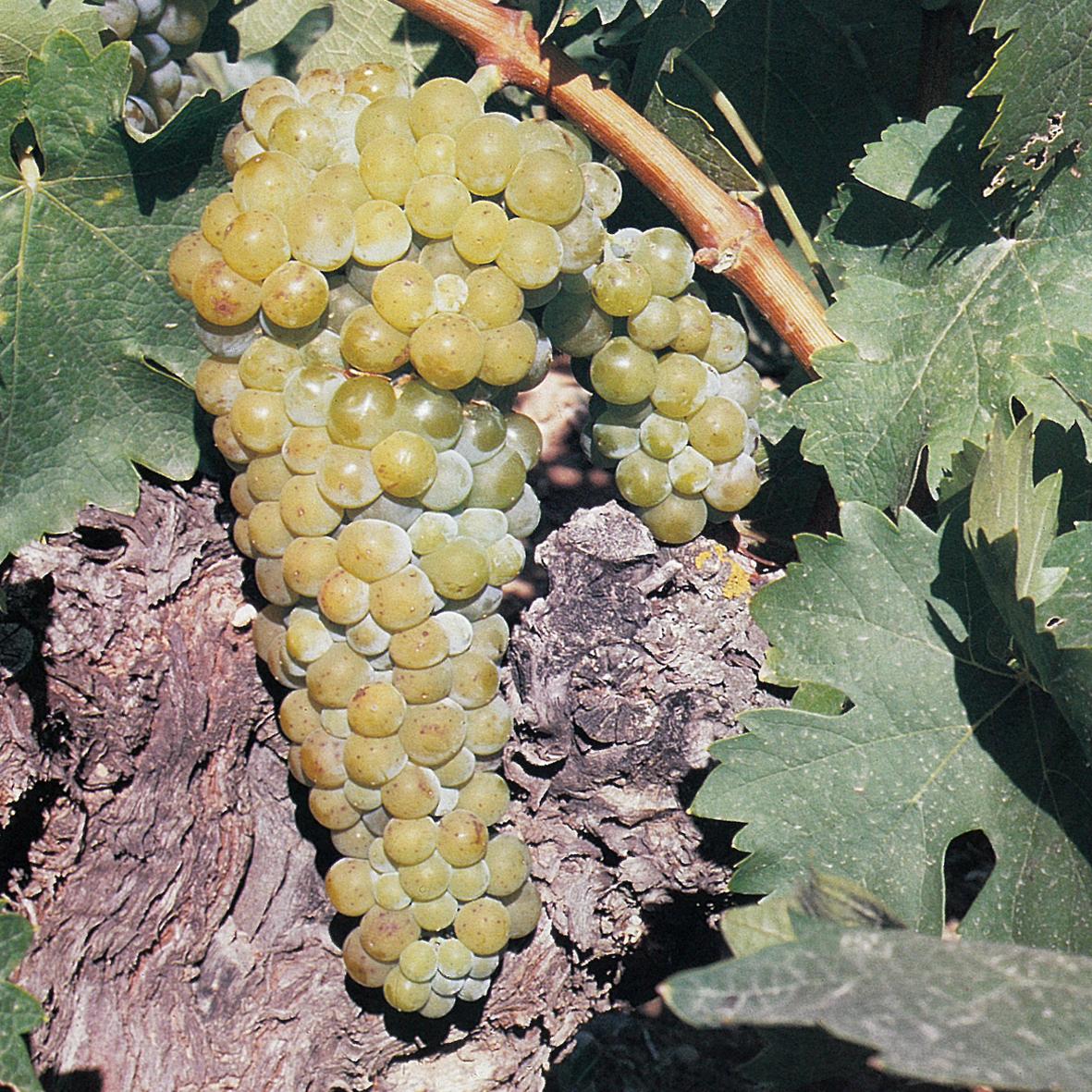 uva vino moscatel grano menudo provedo
