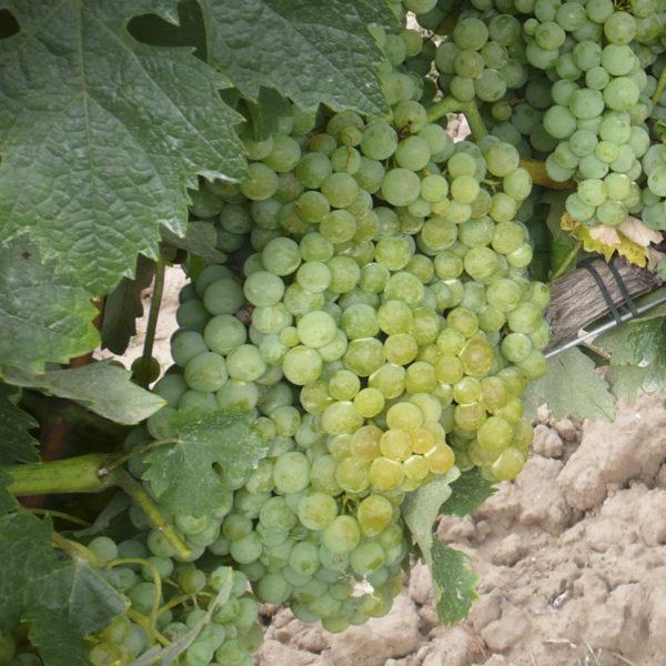 uva vino palomino provedo