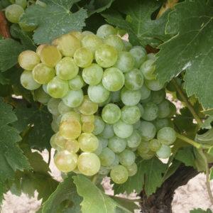 uva vino pedro ximenez provedo