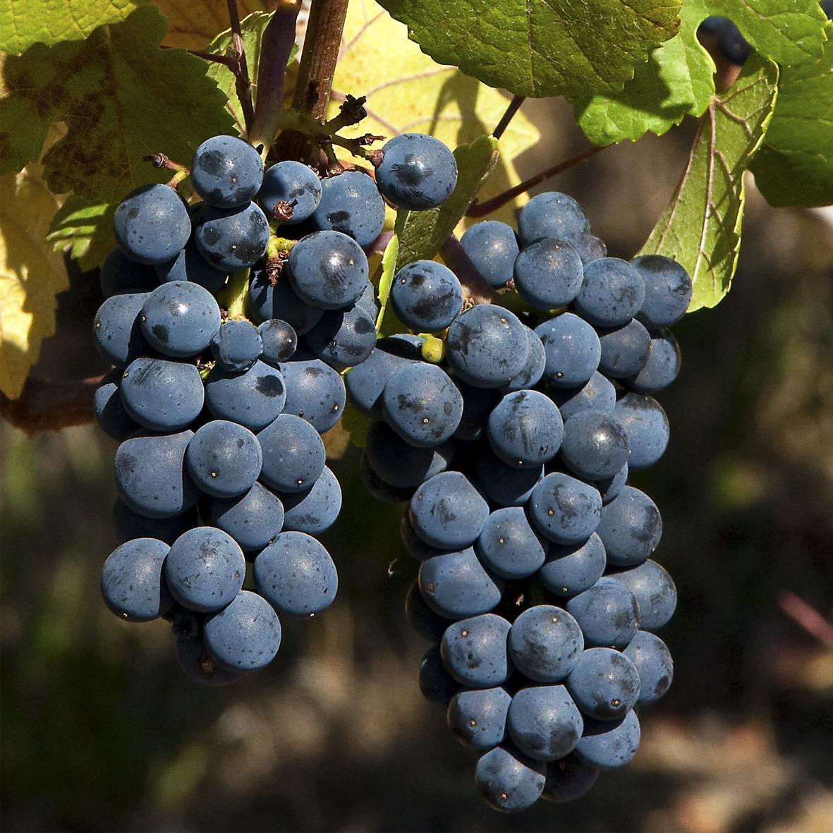 uva vino pinot noir provedo