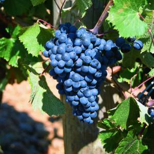 uva vino prieto picudo provedo