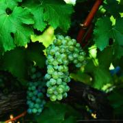 uva vino sauvignon blanc provedo
