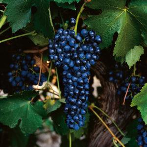uva vino syrah provedo