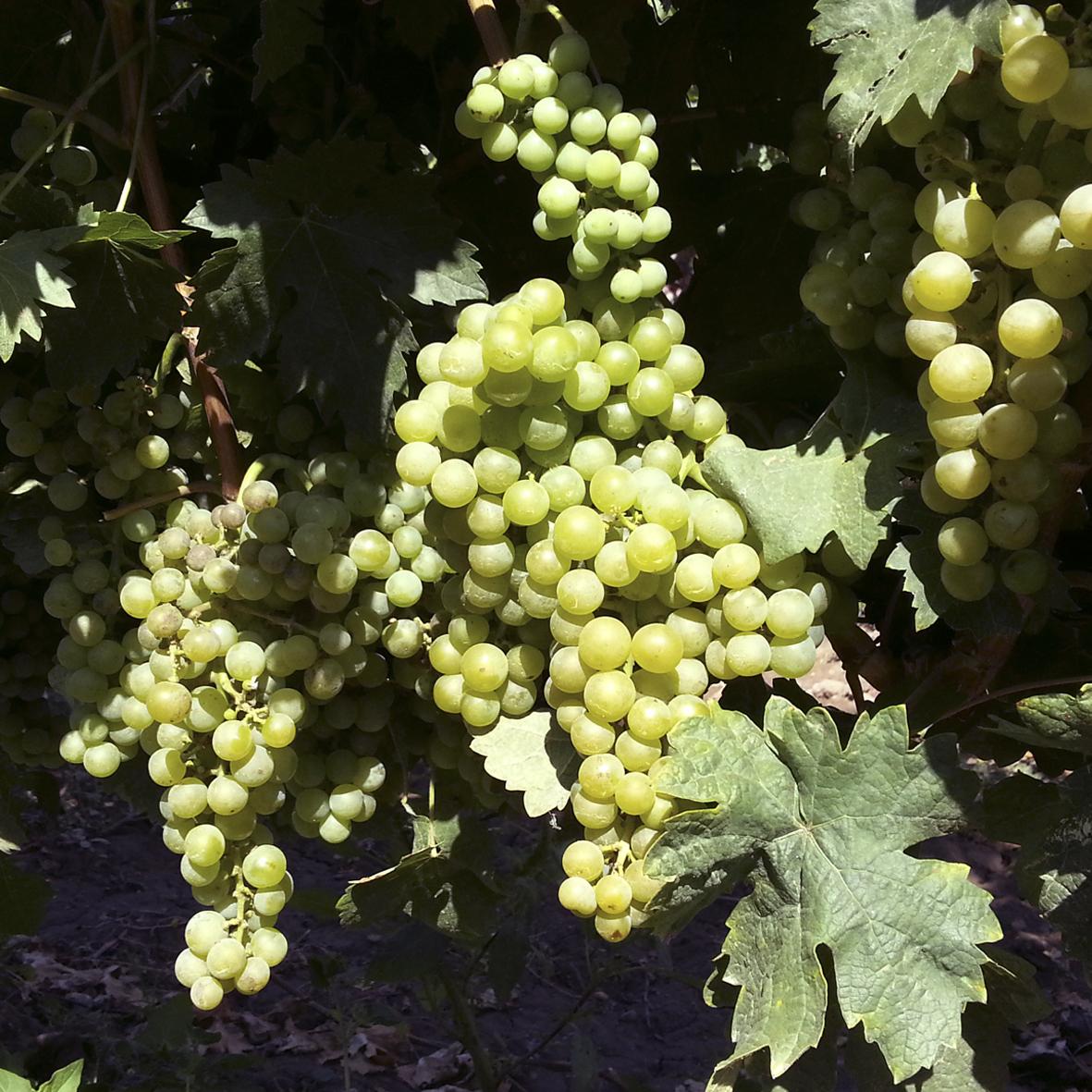uva vino tempranillo blanco provedo