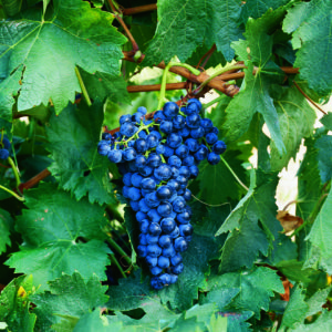 uva vino tempranillo provedo