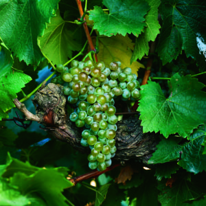 uva vino treixadura provedo