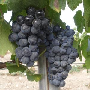 uva vino verdejo negro provedo