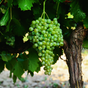 uva vino verdejo provedo