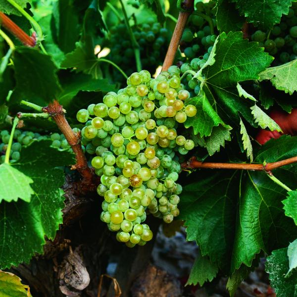 uva vino viura provedo