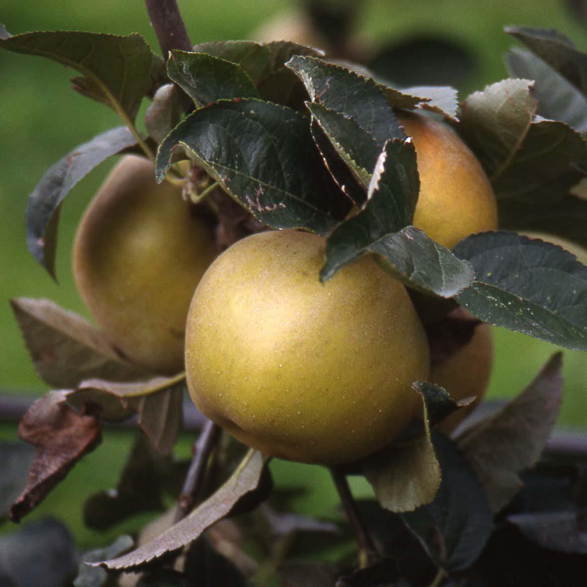 manzano reineta gris provedo