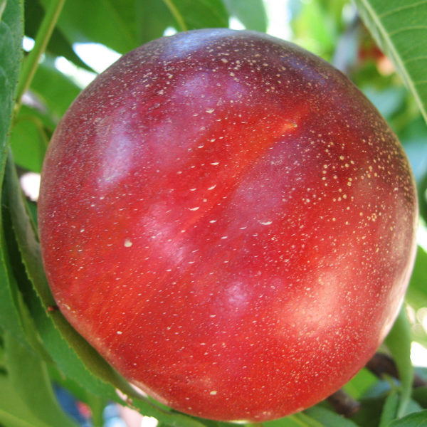 nectarina ca extreme shine provedo