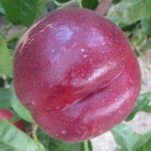 nectarina ca fresh garnet provedo