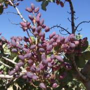 pistacho hembra larnaka provedo