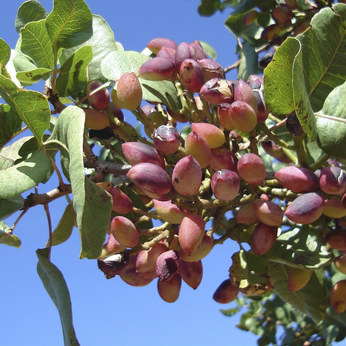 Rboles frutales pistachos y olivos viveros provedo for Viveros frutales