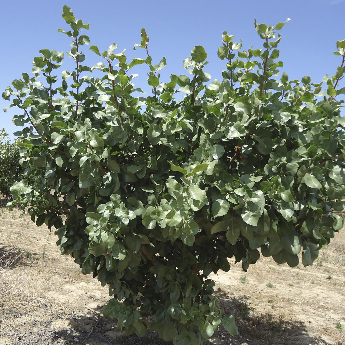 Rboles frutales pistachos y olivos viveros provedo for Viveros de arboles frutales en chihuahua