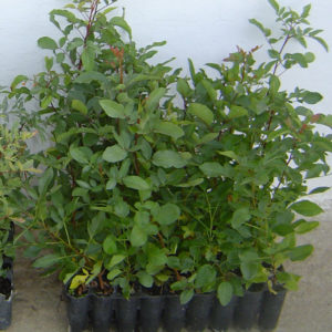 pistacho portainjerto terebinthus provedo