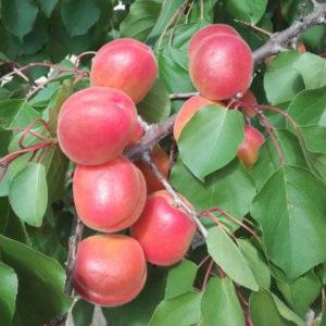 albaricoquero cebas red provedo