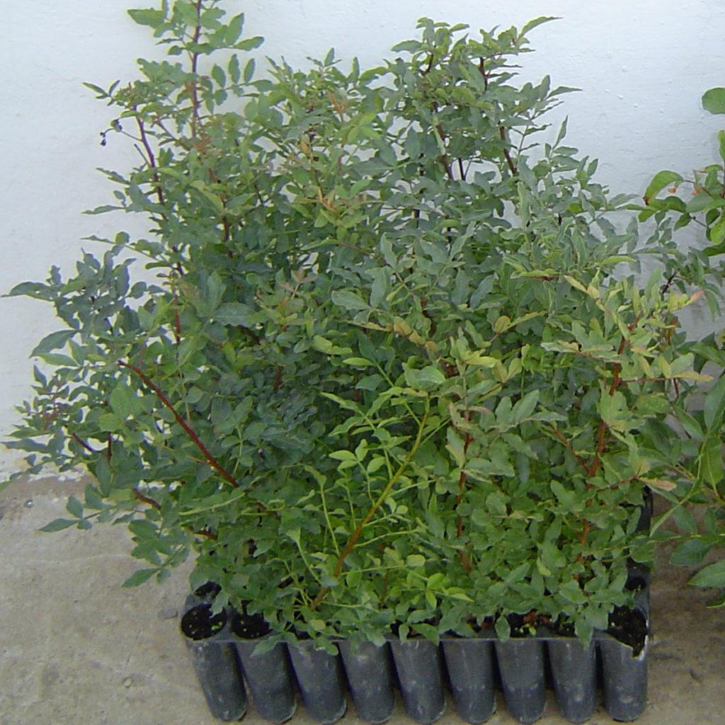 Pistachio rootstock